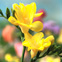 Forcing Bulbs for Christmas: Freesia #Hallmark #HallmarkIdeas