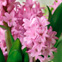 Forcing Bulbs for Christmas: Hyacinth #Hallmark #HallmarkIdeas